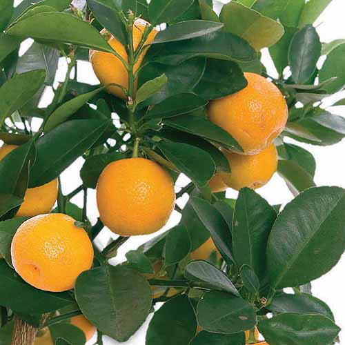 Image of Bloomsz Citrus Fruit Tree Orange, in Decorative Planter