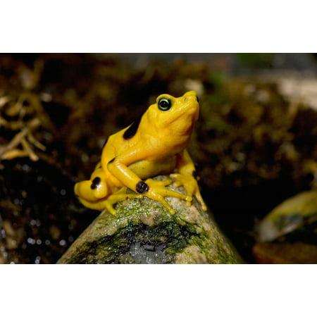 Panamanian Golden Frog native to Panama Poster Print by San Diego (Panamanian Golden Frog)