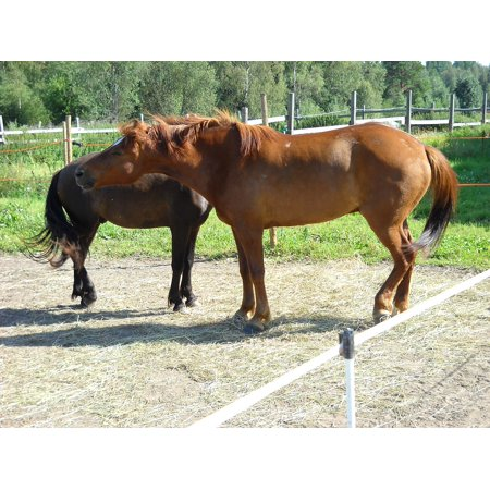 LAMINATED POSTER Chestnut Gelding Horse The Finnish Horse Poster Print 24 x 36