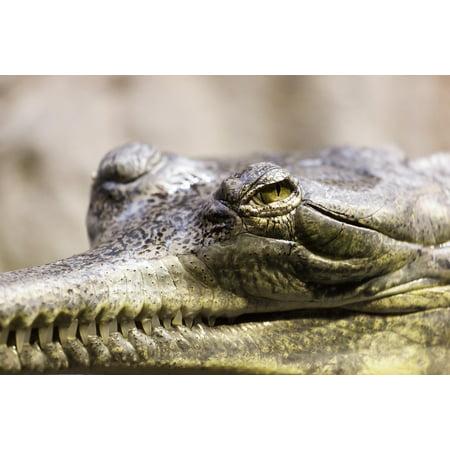 Alligator Canvas - Canvas Print Gavial Alligator Close-up Crocodile Gharial Animal Stretched Canvas 10 x 14