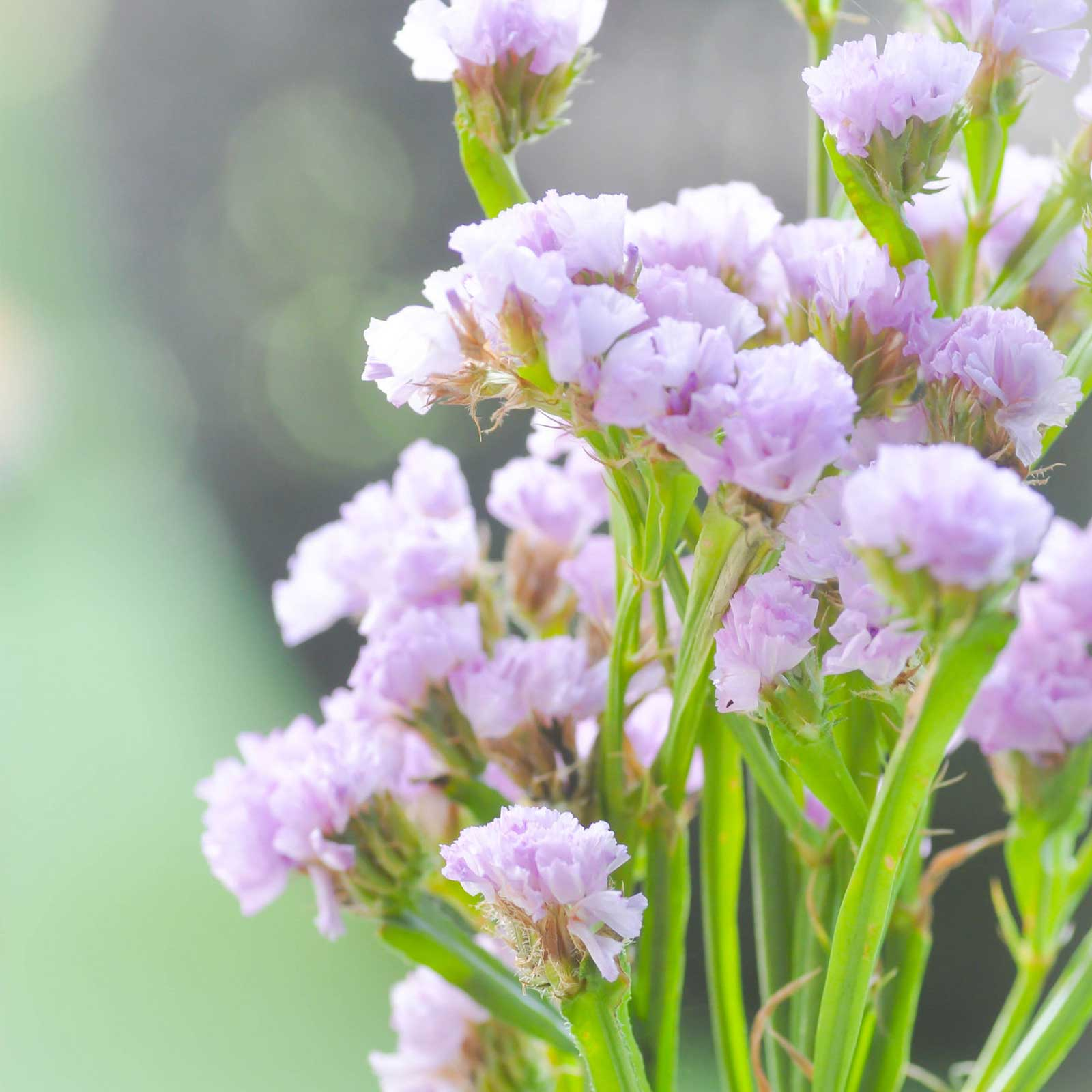 Statice Flower Garden Seeds - QIS Series - Color Mix - 1000 Seeds - Annual Flower Gardening Seed - Limonium sinuata