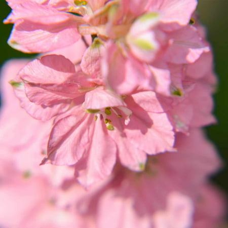 Delphinium Magic Fountain Series Flower Seeds Cherry Blossom