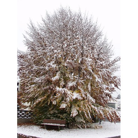 Canvas Print Tree Beech Snow Fall Foliage Winter Blast Stretched Canvas 10 x (Tri Color Beech Tree For Sale In Michigan)