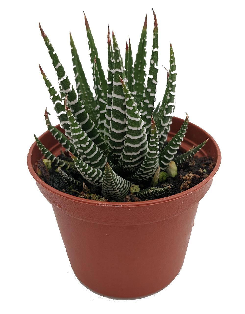 Succulent /'Zebra/' 1-Pack  2.5 Pot  Live Home and Garden Plants