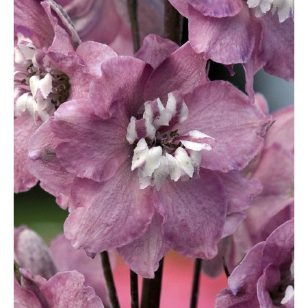Delphinium Plants (Cherry Blossom Magic Fountain Delphinium - 3