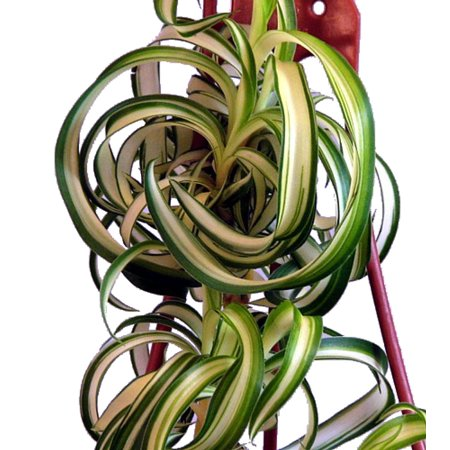 Bonnie Curly Spider Plant - Easy to grow Clean Air Plant - 2.5