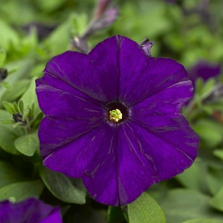 Petunia - Picobella Series Flower Garden Seed - 1000 Pelleted Seeds - Blue Blooms - Annual Petunias - Mini-flowered dwarf plants