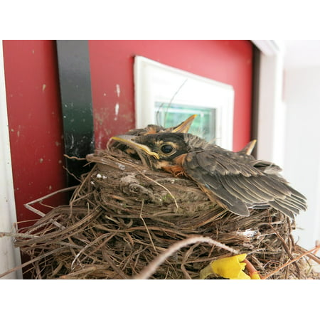 Canvas Print Nature Nest Baby Redbreast Robin Bird Fledgling Stretched Canvas 10 x 14