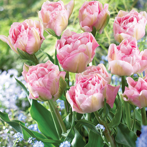 Image of Tulip Angelique, 12-Pack