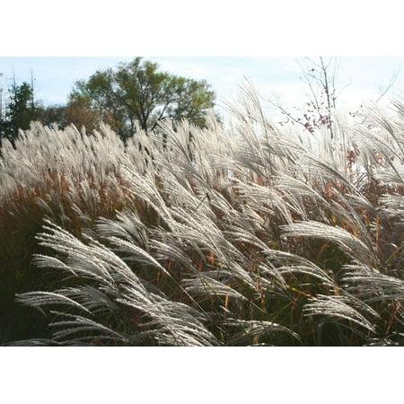 Framed Art For Your Wall Plume Pampas Grass Grass Erianthus Ornamental Grass 10x13 (Pampas Ornamental Grass)