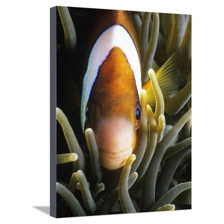 Barrier Reef Anemonefish in Lembeh Strait Stretched Canvas Print Wall Art By Jeffrey Rotman