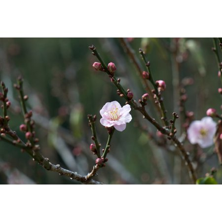 - LAMINATED POSTER Branch Blossom Pink Nature Spring Peach Blossom Poster Print 24 x 36