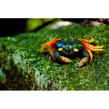 Halloween Crab on Rock in Costa Rica Photo Poster Print Print Wall Art (Fiestas Halloween Costa Rica)