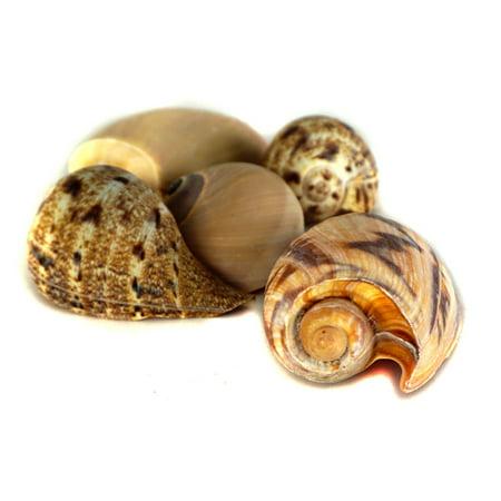 Fluker's Hermit Crab Shell - Extra Large ()