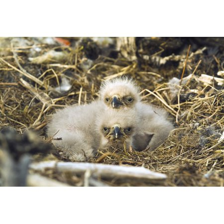 Bald Eagle Chicks Sitting In A Nest On Middleton Island In The Gulf Of Alaska Southcentral During Spring Posterprint