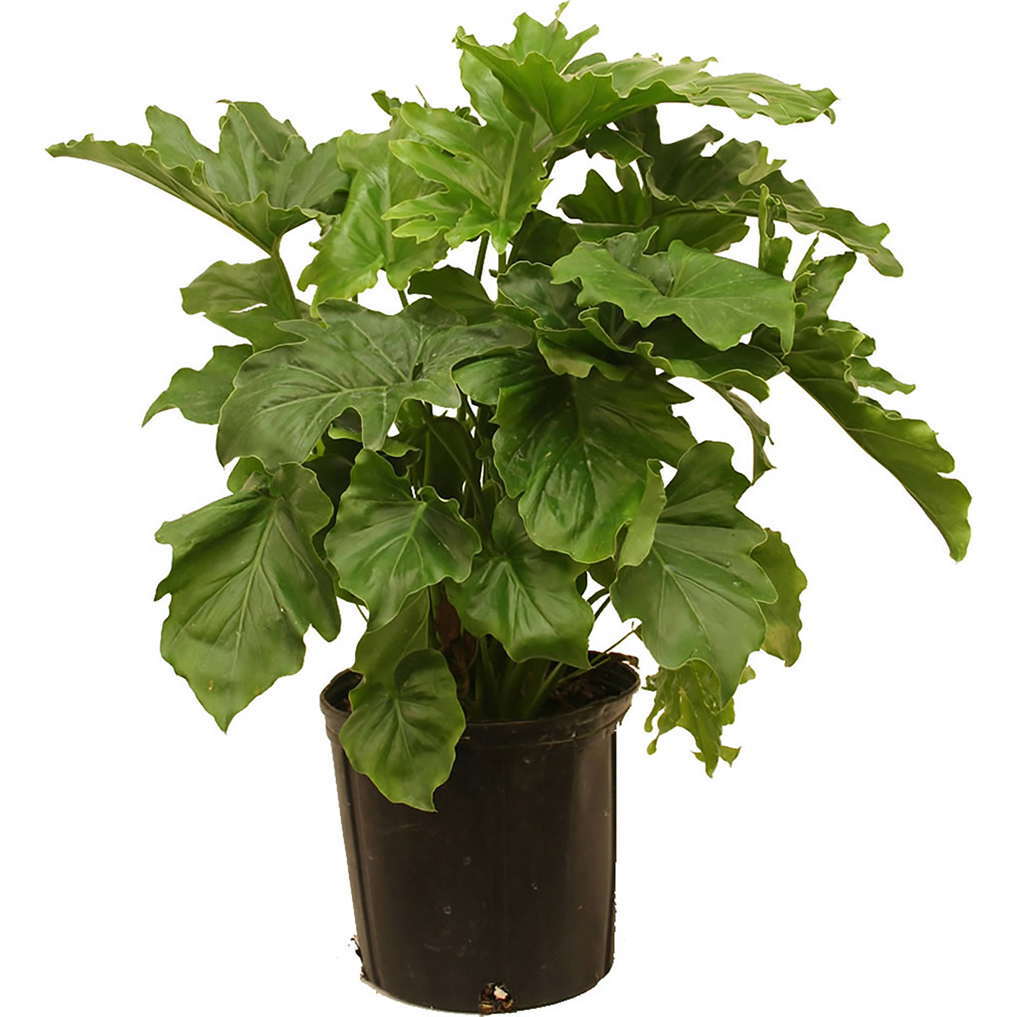 Delray Plants live Philo Selloum Indoor Plant in 10 inch Grower Pot