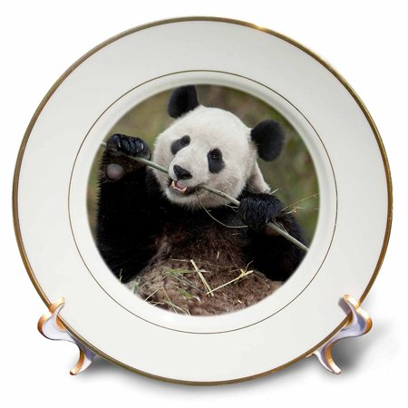3dRose China, Wolong, Giant panda bear eating bamboo - AS07 AGA0009 - Alice Garland, Porcelain Plate, 8-inch](Giant Sandwich Platters)