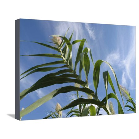 View of Corn Stalk and Blue Sky Stretched Canvas Print Wall Art](Decorative Corn Stalks)