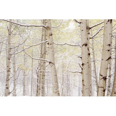 Autumn Aspens With Snow, Colorado, USA Print Wall Art By Panoramic Images