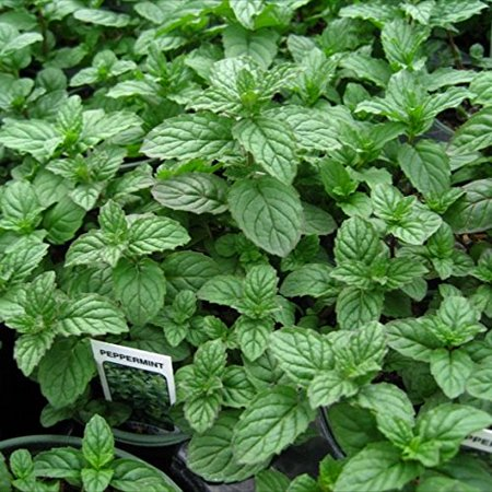 Peppermint Mint Herb Plants- Non GMO- Two (2) Live Plants - Not Seeds -Each 4