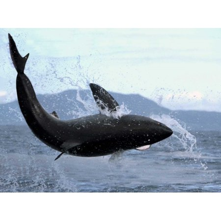 Great White Shark leaping out of water to catch seal False Bay South Africa Poster Print by Mike -