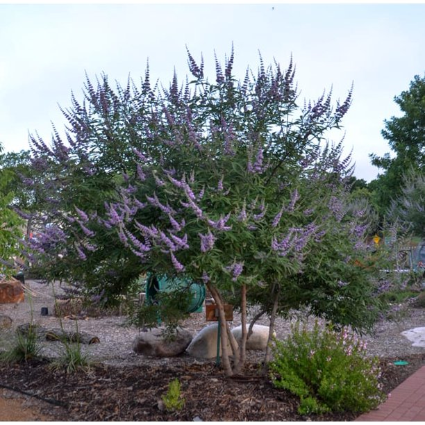 Vitex Chaste Purple Ornamental Flowering Tree Or Bush 4 Live