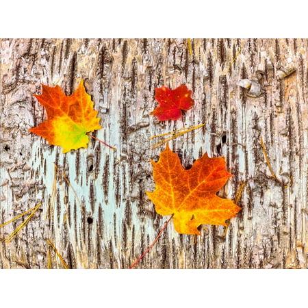 Maple leaves on bark of Birch tree, Keweenaw Peninsula, Upper Peninsula, Alger County, Michigan... Print Wall Art