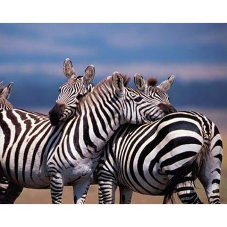Dee Ann Pederson   Danitadelimont Stretched Canvas Art   Group Of Zebras  Masai Mara  Kenya   Medium 16 X 20 Inch Wall Art Decor Size