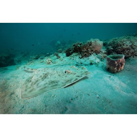 A Southern Stingray Rests On The Sandy Bottom Of A Reef At 90 Feet Deep In Gulf Waters Eight Miles Off The Coast Of Panama City Florida Poster Print