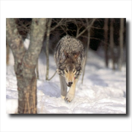 Grey Wolf Hunting Snow Trees Wall Picture Art Print