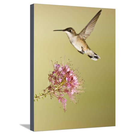 Ruby-Throated Hummingbird Feeding at Rocky Mountain Bee Plant Flower, South Texas, USA Stretched Canvas Print Wall Art By Larry (Best Plants For South Texas)