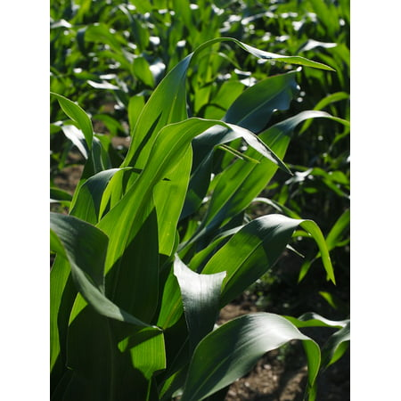 Canvas Print Corn Leaves Agriculture Cornfield Corn Cultivation Stretched Canvas 10 x - Corn Loaf
