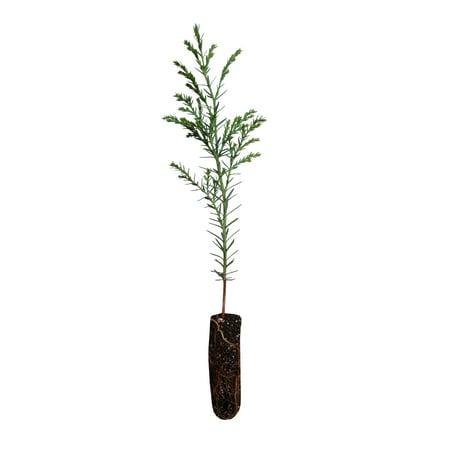 Port Orford Cedar | Small Tree Seedling | The Jonsteen Company