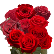 GlobalRose 50 Fresh Cut Birthday Red Roses - Long Stem Flowers For Delivery- Large Bloom Roses