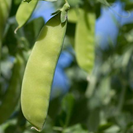 - Oregon Giant Snow Pea Garden Seeds - 50 Lbs Bulk - Non-GMO, Heirloom Vegetable Gardening Seed