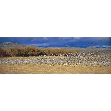 A panoramic of thousands of migrating snow geese and Sandhill cranes taking flight over the Bosque del Apache National Wildlife Refuge near San Antonio and Socorro New Mexico Canvas Art - Panoramic