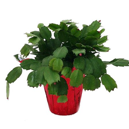 Christmas Cactus Plant.Hirt S Red Christmas Cactus Plant Zygocactus 4 Pot Decorative Pot Cover