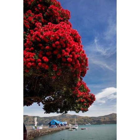 Pohutukawa Tree And Akaroa Harbour Akaroa Banks Peninsula Canterbury South Island New Zealand Poster Print By David Wall