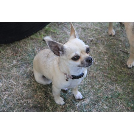 Cute Chihuahua (Pappy Pet Small Chihuahua Breed Dog Cute Poster Print 24 x)