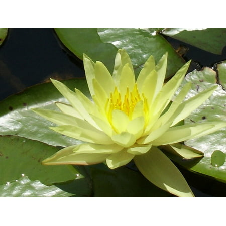 LAMINATED POSTER Lotus Lotus Blossom Flower Water Lily Water Plant Poster Print 24 x