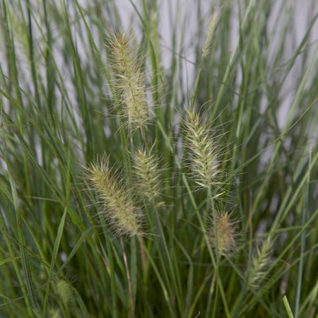 Hamelin (Pennisetum) Fountain Grass, Live Plants