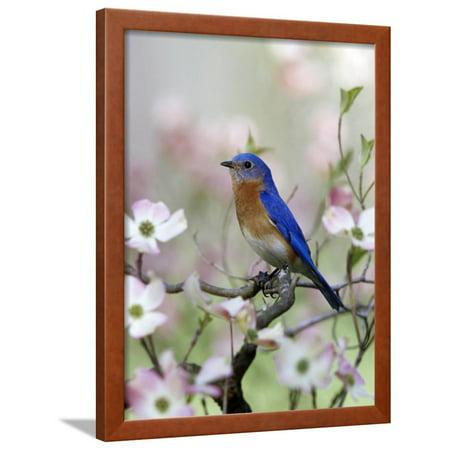 bf387765e97 Male Eastern Bluebird in Flowering Dogwood Tree (Sialia Sialis ...