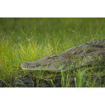 Crocodile On The Banks Of The Shire River Liwonde National Park Malawi Canvas Art   Ian Cumming  Design Pics  19 X 12
