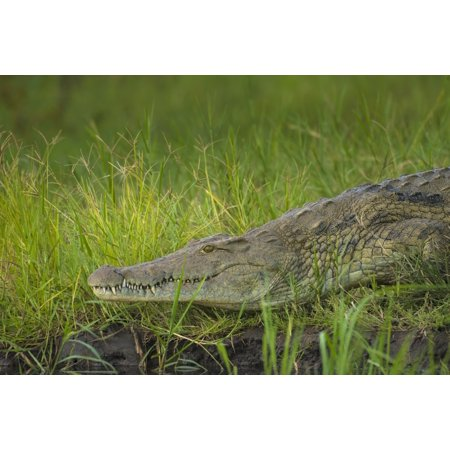 Crocodile On The Banks Of The Shire River Liwonde National Park Malawi Posterprint