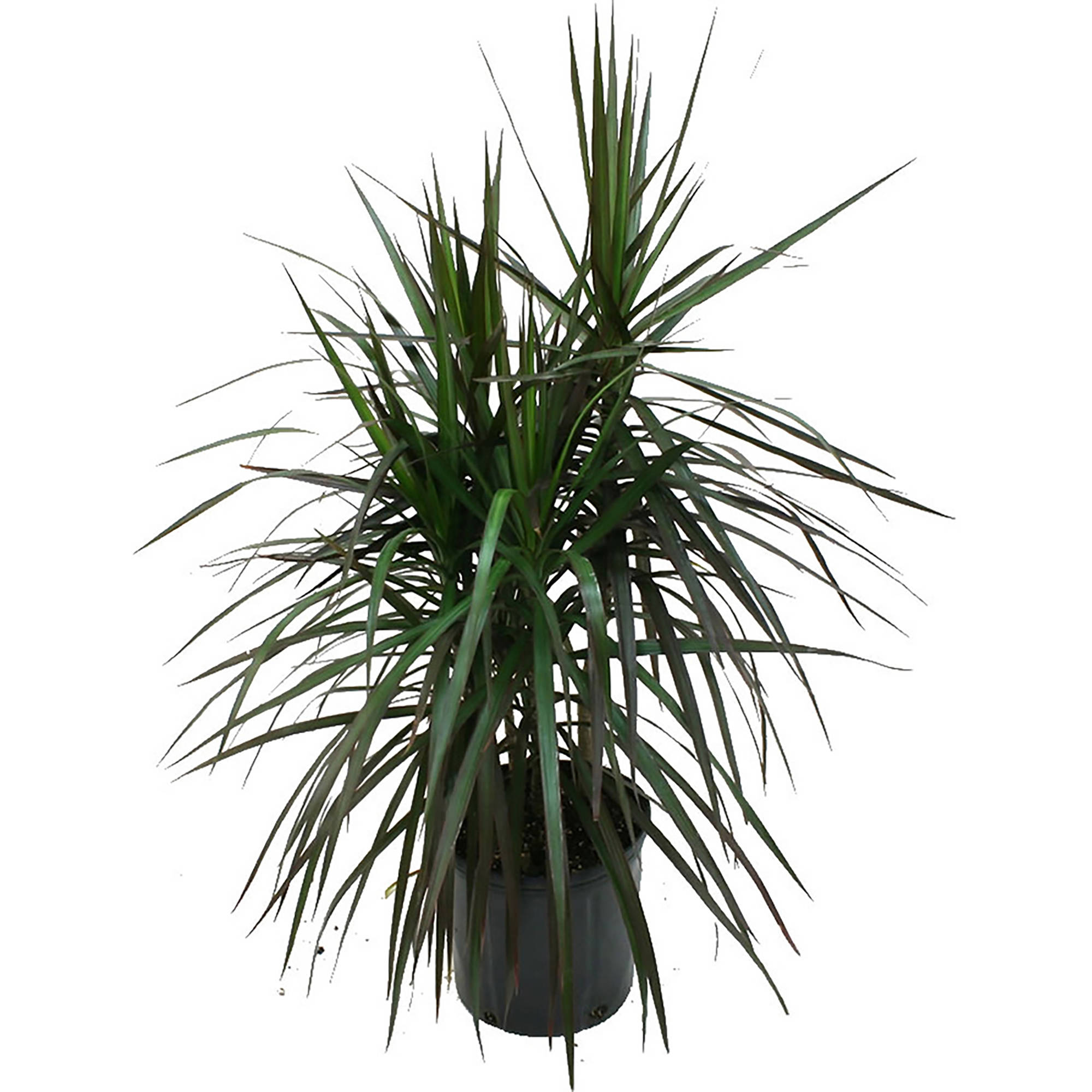 "Delray Plants Dracaena Marginata Bush in 10"" Pot"
