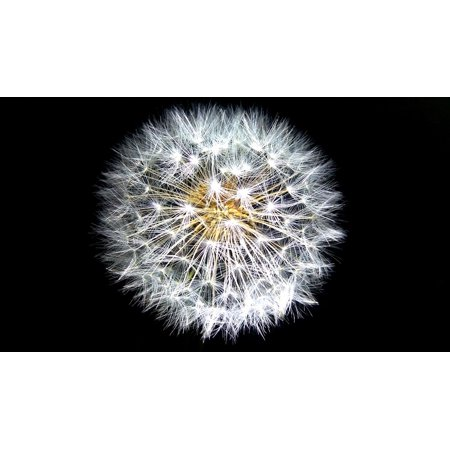 Laminated Poster Softness White Weed Seeds Growth Dandelion Nature Poster Print 24 X 36
