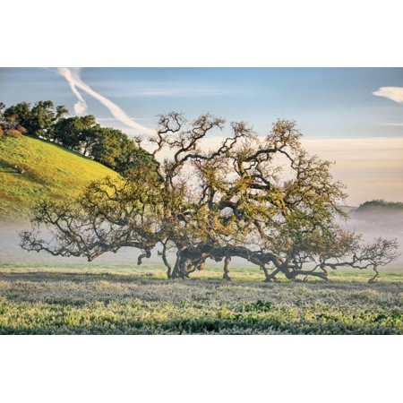 Elegant Oak and Mist, Petaluma Trees, Sonoma County, Bay Area Print Wall Art By Vincent (Best Trees For Bay Area)