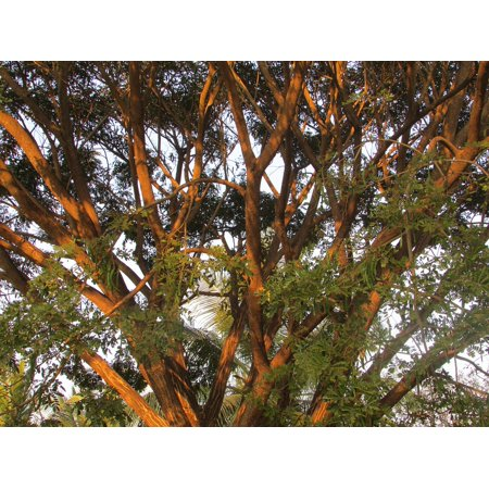 Canvas Print Tree India Outdoors Agriculture Dharwad Organic Stretched Canvas 10 x (Top 10 Organic Cosmetic Brands In India)