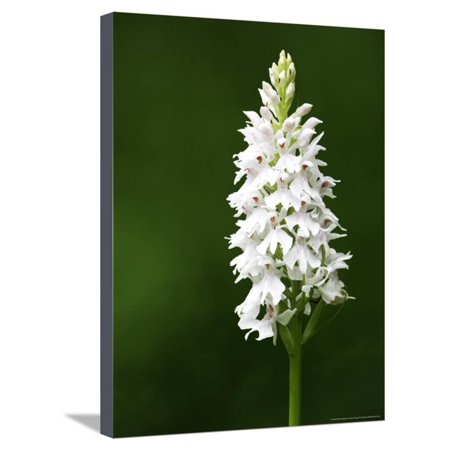 Common Spotted Orchid, Albino Version, UK Stretched Canvas Print Wall Art By David Clapp Common Spotted Orchid