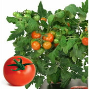 Miracle-Gro AeroGarden Heirloom Cherry Tomato 7-Pod Seed Kit